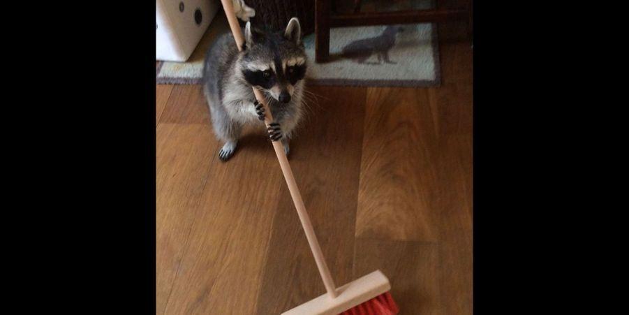 Melanie le raton laveur apprivoisé