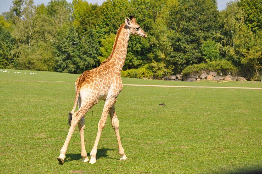 Messa, le petit girafon du Cap est né à Planète Sauvage