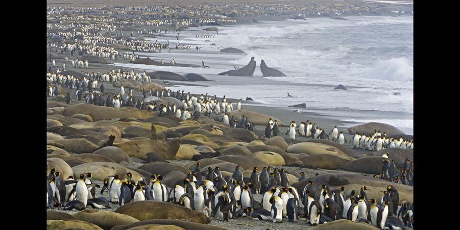 Des manchots royaux se faufilent entre des harems compacts d'éléphants de mer du sud