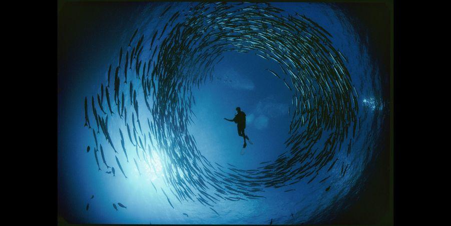 Naturaliste pris dans un tourbillon de barracudas