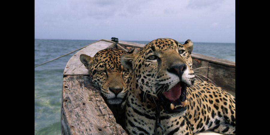 Steve Winter et des jaguars dans une pirogue