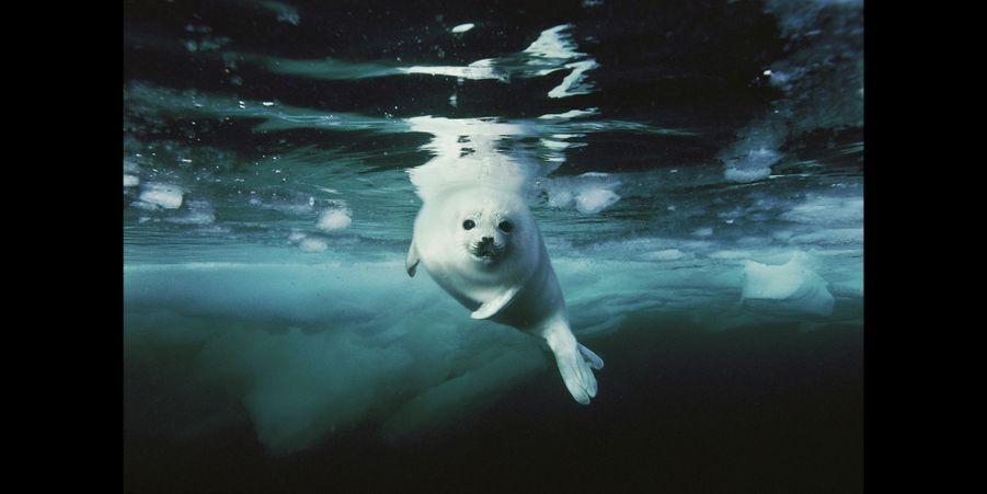 Un blanchon, jeune phoque du Groenland, nage avec grâce dans l'eau glacée