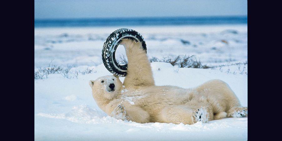 Un ours polaire joue avec un pneu