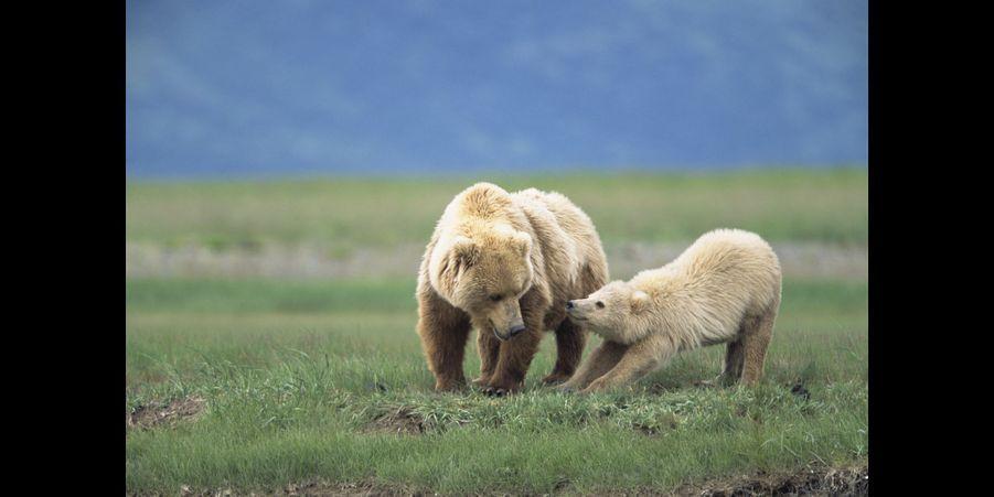 Un petit grizzly blond, en compagnie de sa mère
