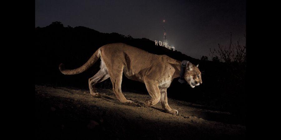 Un puma se promène dans Griffith Park, où se trouve le célèbre panneau Hollywood