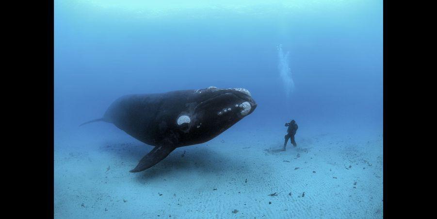 Une baleine franche australe rencontre un plongeur sur fond de sable