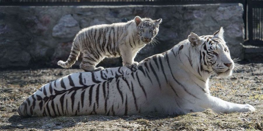 Nés en mars, les tigres blancs sont déjà de sortie