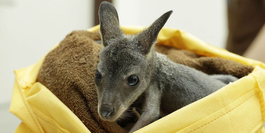 Pip l'adorable petit wallaby élevé à la main