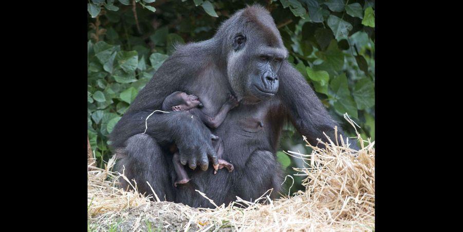 Un petit gorille est né au zoo de Melbourne