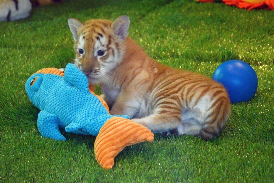 Première sortie pour les petits tigres à Las Vegas