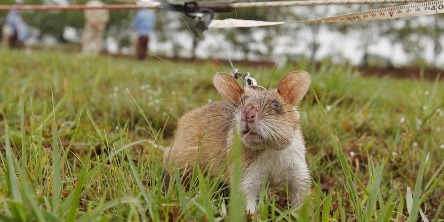 Quand les rats aident à retrouver les mines antipersonnel au Cambodge
