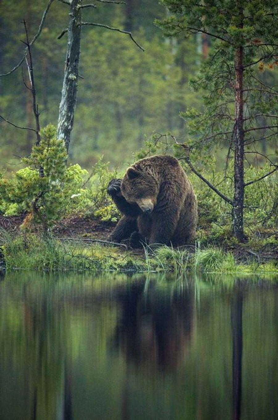 Scènes de vie chez les ours dans la forêt finlandaise