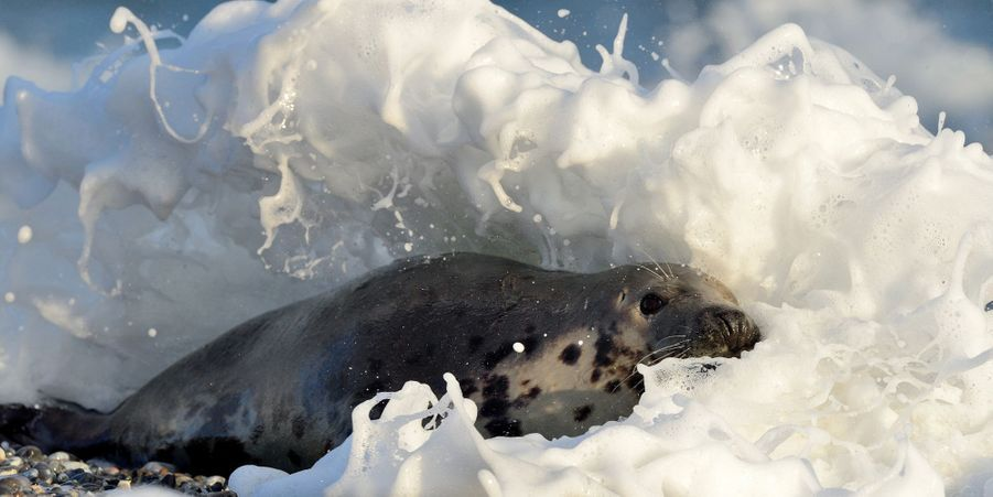 Moment de détente pour les phoques de l'île d'Helgoland