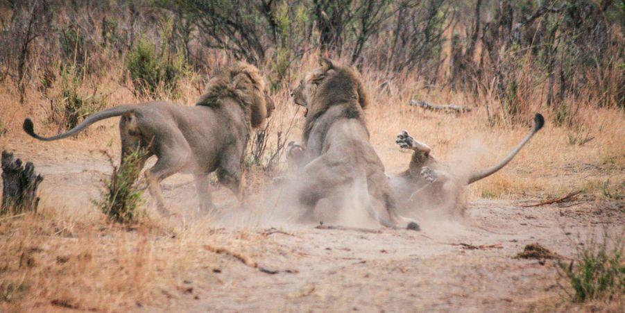 Les deux lions se battent pour la même femelle