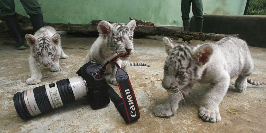 Mettez trois tigres dans le moteur...