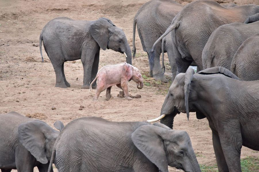 Un éléphanteau blanc rarissime est né en Afrique du Sud