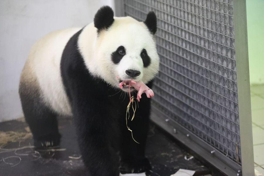 Hao Hao la femelle panda du zoo Pairi Daiza a mis bas, jeudi 2 juin 2016.