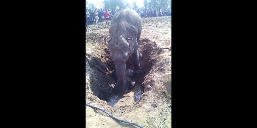 Une éléphante a sauvé son petit tombé dans un puits