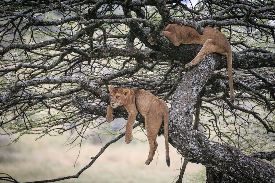 Une sieste haut perchée dans le parc du Serengeti, en Tanzanie