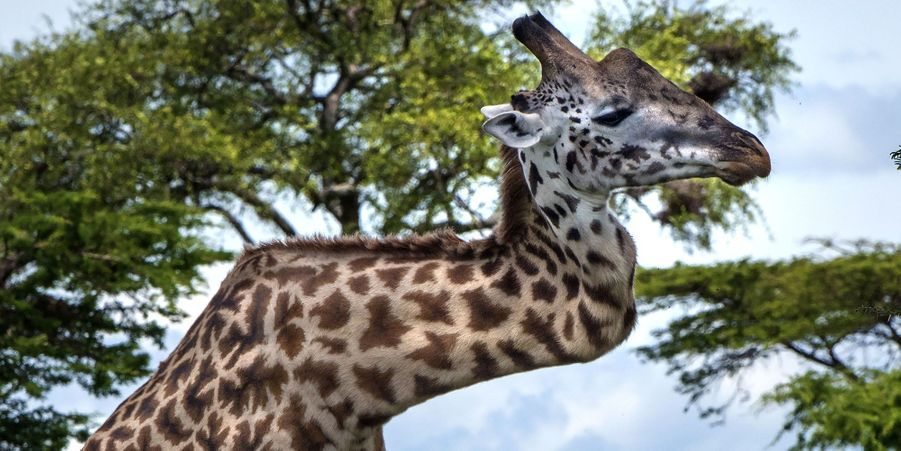 """Attribuez une à cinq étoiles aux diaporamas de la semaine:La girafe au cou tordu:Le photographe Mark Drysdale a fait une étonnante découverte lors d'un safari dans le parc national du Serengeti, en Tanzanie: une girafe masaï au cou tordu.Sieste la tête en bas pour le galéopithèque:Ce petit animal, autrefois considéré comme une chauve-souris mais qui se rapproche en réalité d'un primate, peut non pas voler mais planer d'un arbre à l'autre.Retour à la liberté pour les lions de mer empoisonnés:Ces animaux, secourus comme des centaines d'autres par le Pacific Marine Mammal Center, avaient été victimes d'unempoisonnementil y a un mois.L'ours recréé la Fièvre du samedi soir:Cet ours semble avoir passé de longues heures à observer les inoubliables pas de danse de John Travolta dans le film """"La Fièvre du samedi soir"""".Le renardeau maladroit coincé dans un pot: Voulant probablement aller chercher des restes de nourriture au fond d'un pot en plastique, il a coincé sa tête dedans.Première sortie officielle pour les bébés guépards:Les soigneurs du zoo de Münster, en Allemagne, ont présenté les sept petits guépards nés le 28 avril.Sprinkles, la chatte obèse au régime:Cette femelle, qui devrait normalement peser entre cinq et six kilos, a été prise en charge par une association.Blocks, la maison de jeu à monter soi-même:La start-up néerlandaise Poopy Cat lance cet été en France son nouveau produit: Blocks, une maison de jeu pourchatsà monter soi-même.Au Pérou, une brigade dédiée aux animaux errants:La brigade Orejitas («Petites oreilles») de la police de Lima, au Pérou, a une mission: venir en aide aux animaux errants."""