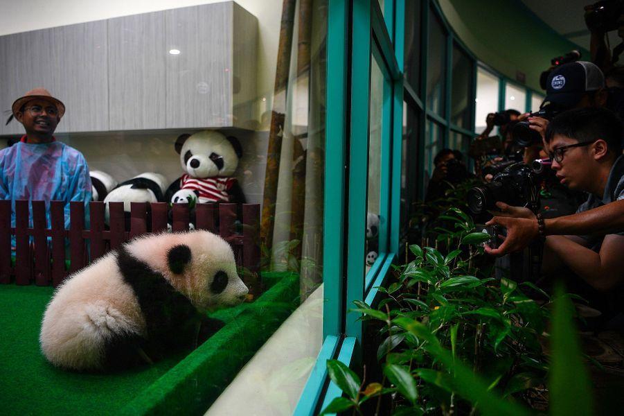 Le bébé panda pèse 9 kilos et est âgé de 4 mois.