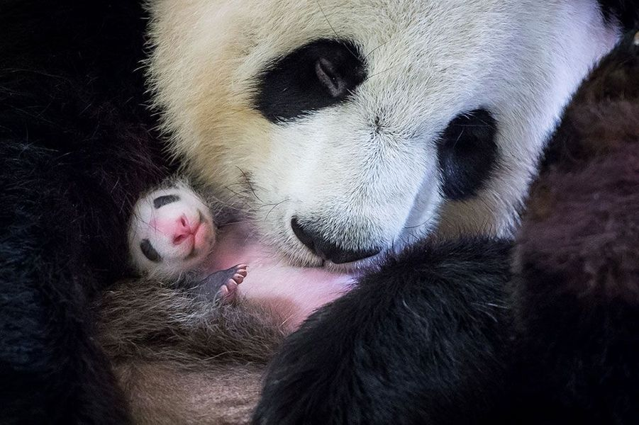 Avec sa mamanHuan Huan 24 jours après sa naissance