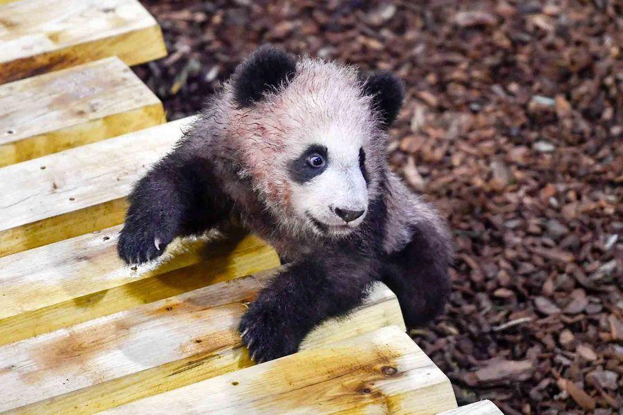 Le bébé pandaYuan Meng.