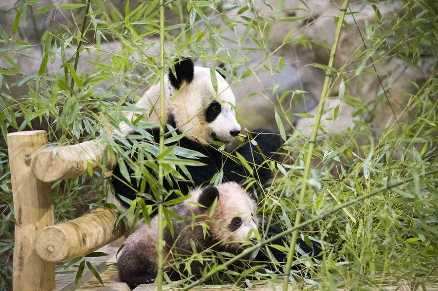 Le bébé pandaYuan Meng avec son père,Yuan Zi.