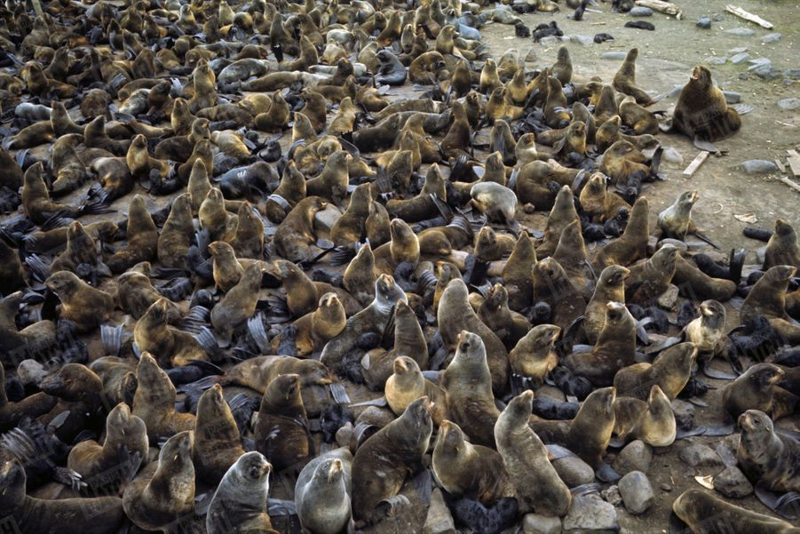 « Un mâle devant à un troupeau de femelles : sur les îles Pribilof, chaque année un troupeau de 125 000 phoques vient se reproduire. » - Paris Match n°1063, 20 septembre 1969