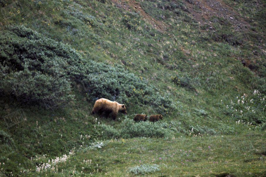 « Trois espèces d'ours, ici un grizzli. » - Paris Match n°1063, 20 septembre 1969