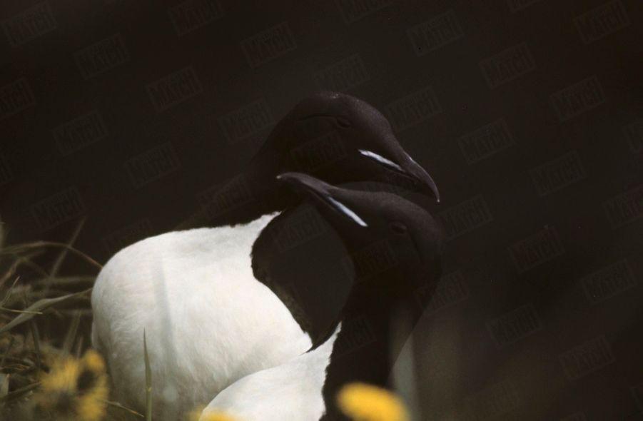 « C'est aussi le paradis des oiseaux : un couple de puffins. » - Paris Match n°1063, 20 septembre 1969
