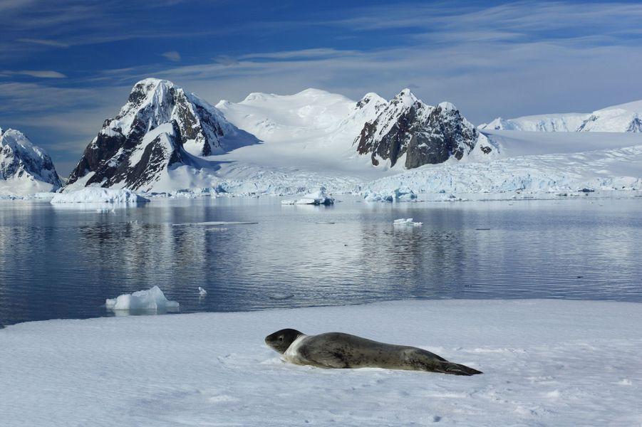 26 décembre, près de la base ukrainienne Vernadsky. Un léopard de mer se repose sur un bout de banquise. Un redoutable prédateur pour phoques et manchots. Pas d'ours polaire dans l'Antarctique alors ce fauve n'a qu'un concurrent : l'orque.