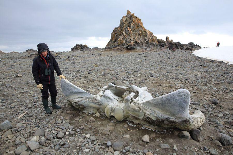 Les baleines, nous en verront aussi sous cette forme : le 5 janvier, Murielle Denis, guide spécialiste des régions polaires, nous montre une vertèbre sur une plage volcanique de l'île King George (Shetland du Sud).