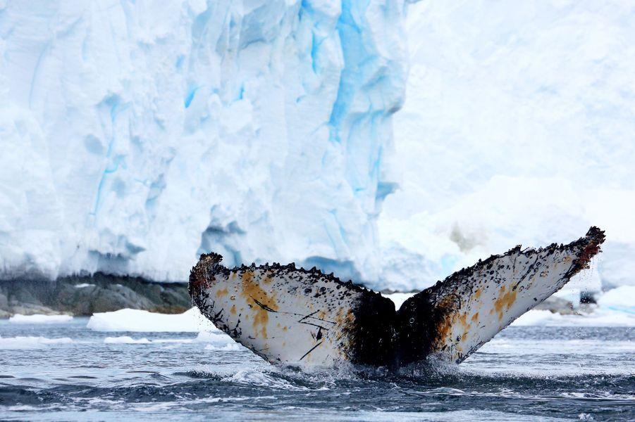 Faux papillon mais vraie queue de baleine à bosse. Dans Orne Harbour, le 1er janvier, l'année commence en Zodiac et en toute beauté.