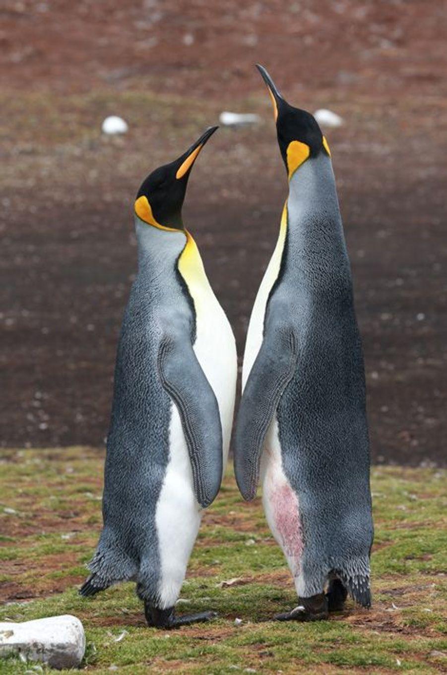 Deux manchots royaux se tiennent tête, le 10 janvier, aux îles Malouines. Si graphiques qu'on les croirait nés de la plume d'un artiste…