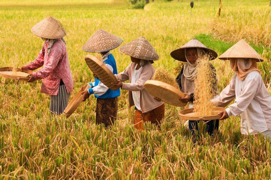 Des femmes dans les rizières
