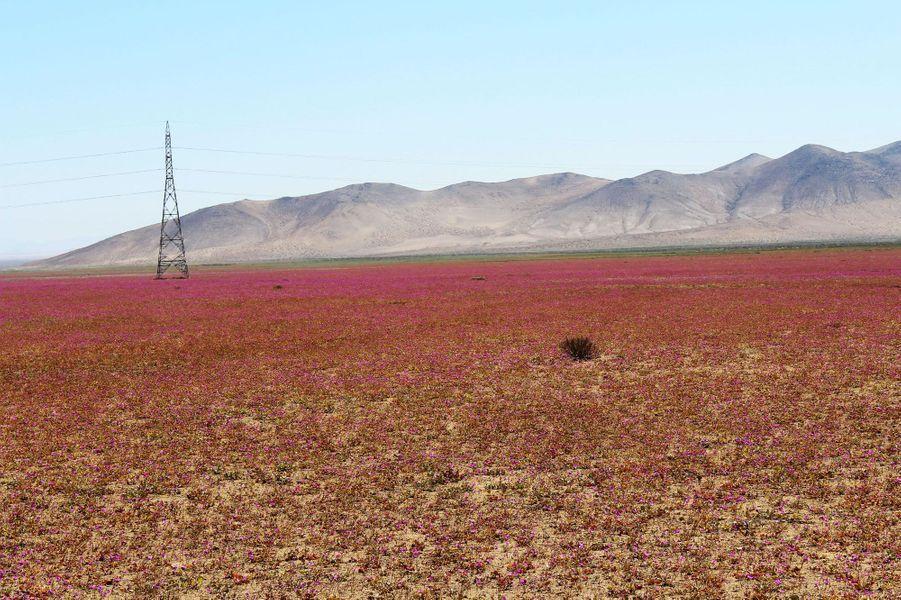 Des milliers de fleurs tapissent le désert d'Atacama au nord du Chili.