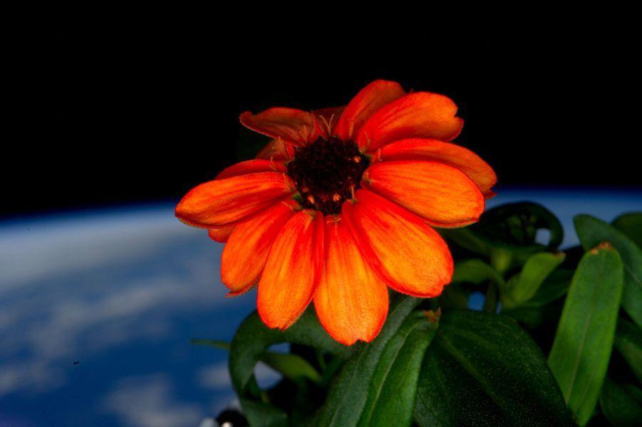 Première fleur de l'espace, une zinnia
