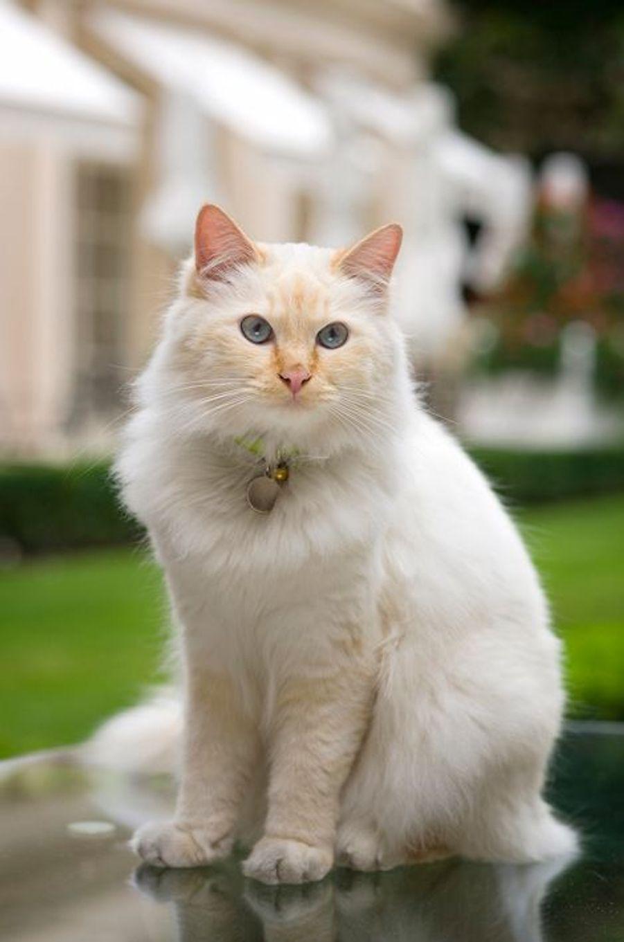 Le chat Fa-Raon, la mascotte du palace; ce sacré de Birmanie a fait du palace son royaume