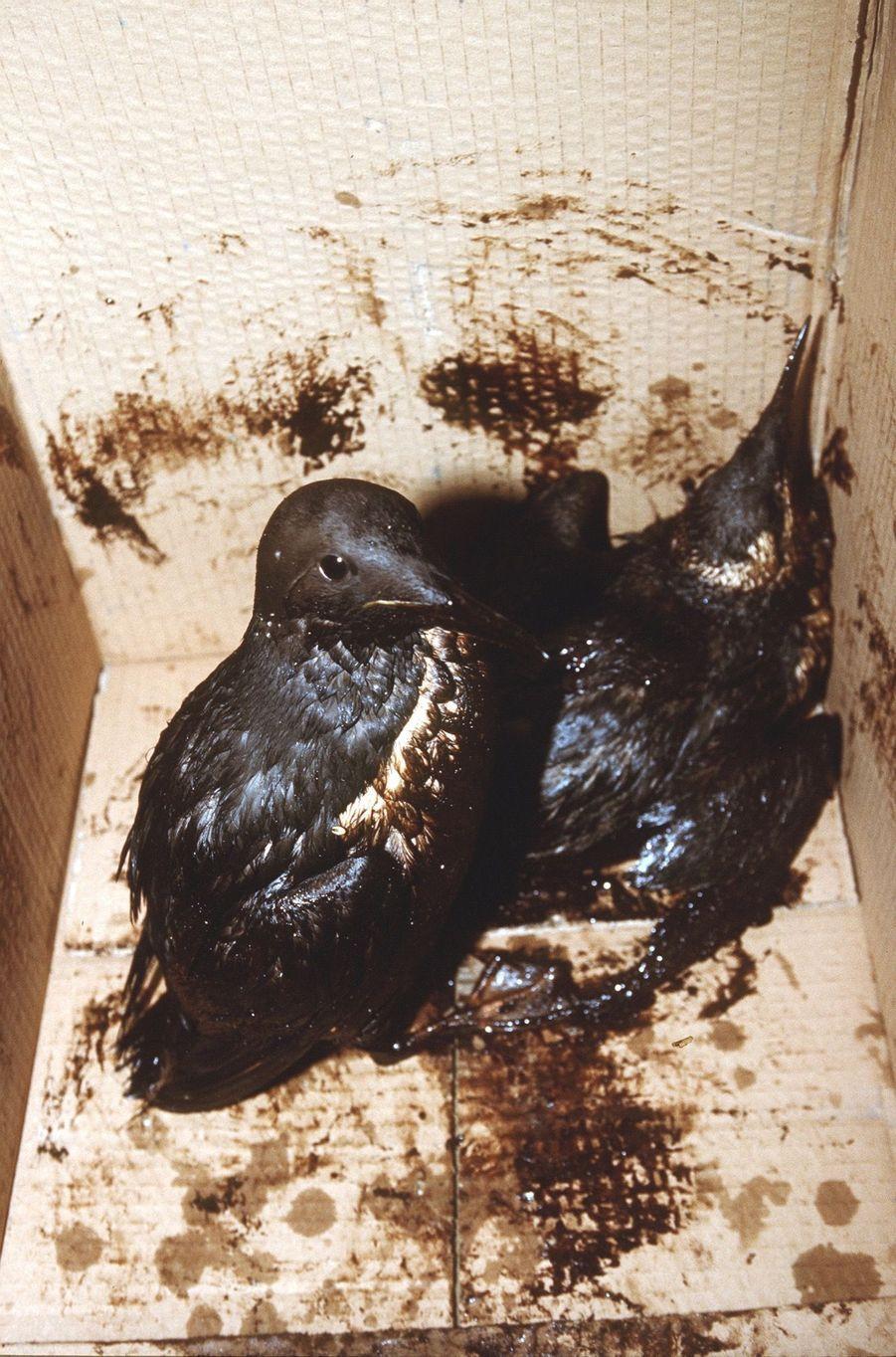 Desoiseaux victimes de la marée noire provoquée par le naufrage du pétrolier Erika, en décembre 1999.