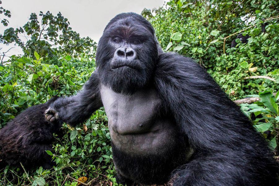 Le punch du silverback, dos argenté en français, est d'ordinaire réservé à ses rivaux. Mais c'est Christophe Courteau, le photographe spécialiste, qui en a été victime. Nous ne sommes plus dans les angéliques « Gorilles dans la brume » de Dian Fossey, mais dans « Le gorille vous salue bien ». Le crochet de ce mâle adulte a atteint la mâchoire de l'indiscret avec une puissance maximale. Le rescapé raconte : « Je le connaissais bien, ce Karevuro. Il est le patron du clan Kwitonda, il est réputé viril mais pas agressif. Entre l'instant où je l'ai vu et le choc : moins d'une seconde. Le train était déjà passé ! Karevuro avait une femelle en chaleur, un jeune qui le titillait et ce fut le coup de sang. Poing final. »