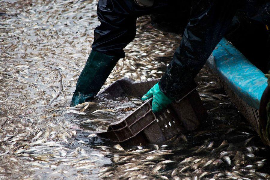 8000 tonnes de sardines ont été retouvées mortes dans le lac Queule