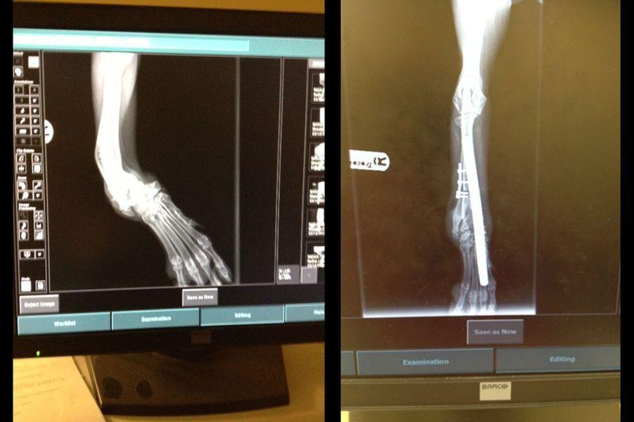 Des radios des pattes de Sandy, avant et après les opérations