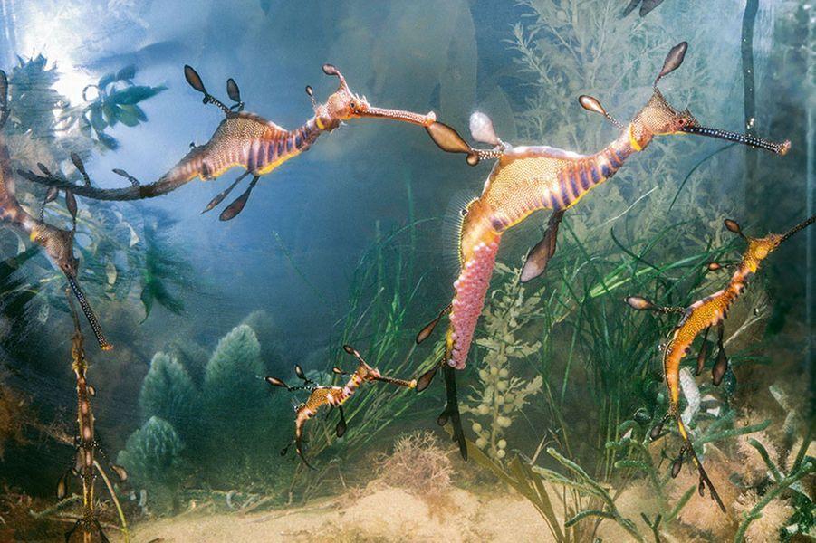 La faune marine australienne ressemble à un tableau d'Yves Tanguy. Un hippocampe promène son étrange silhouette alourdie par les centaines d'œufs déposés par la femelle. Car le cheval de mer fait partie des très rares espèces animales où le mâle prend en charge l'incubation de sa progéniture.