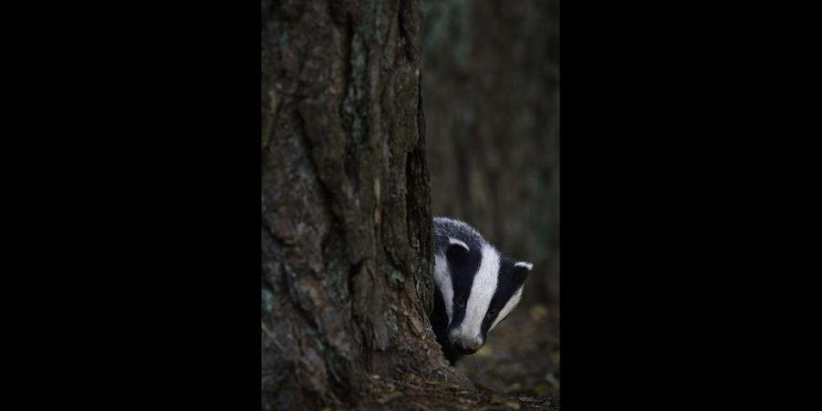 Ce blaireau se cache derrière un arbre, effrayé par le photographe. Il guette probablement le départ de ce dernier pour sortir de sa cachette. (voir l'épingle)Suivez nous sur Pinterest !