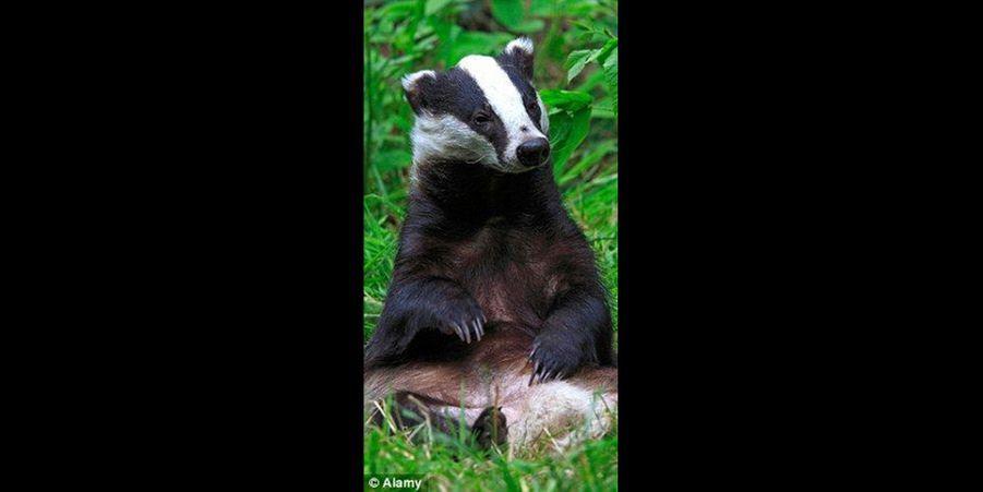 Assis confortablement sur un lit d'herbe, ce blaireau semble prêt à tomber dans les bras de Morphée. (voir l'épingle)Suivez nous sur Pinterest !