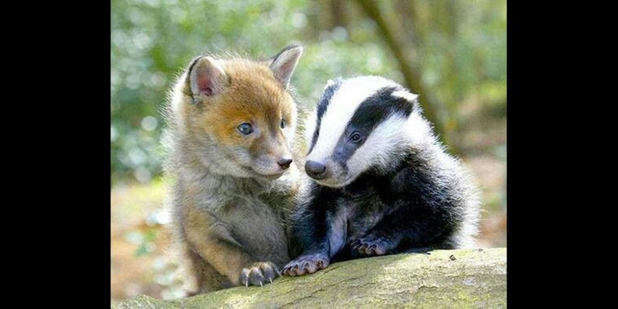 Même si le blaireau est timide, il apprécie la compagnie de son ami le petit renardeau. (voir l'épingle)Suivez nous sur Pinterest !