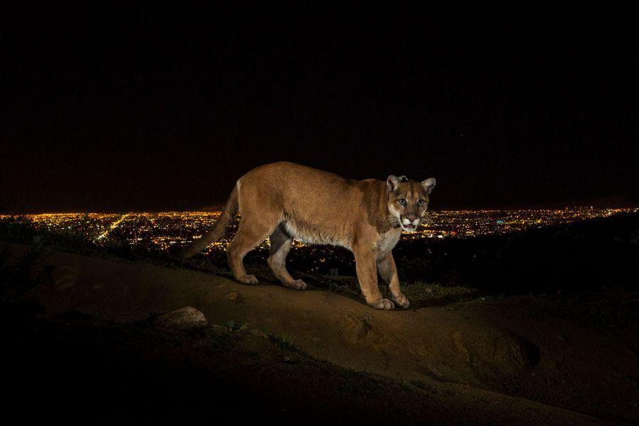 """2 mars 2013, Los Angeles (Etats-Unis). Un cougar sauvage photographié par un appareil à déclenchement automatique aux abords de """"la cité des anges""""."""
