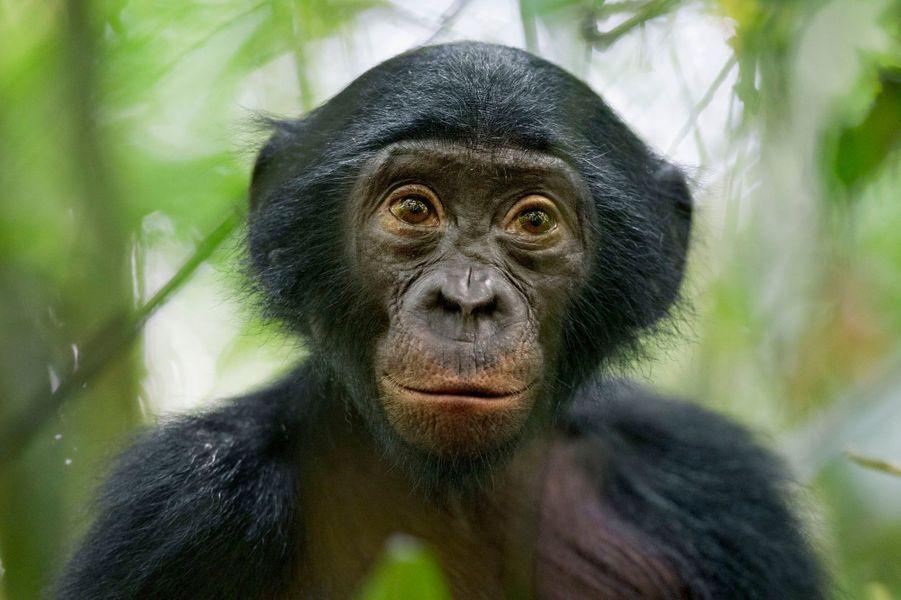 """Christian Ziegler, Allemagne,25 janvier 2011, Congo. Un singe bonobo, """"le plus curieux de son groupe"""" dans la réserve de Kokolopori ."""