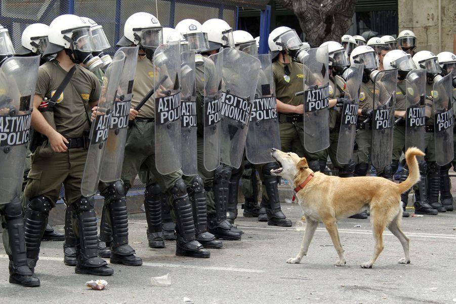 Loukanikos dans une manifestation à Athènes le 14 juin 2011